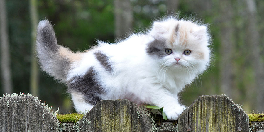 White cat with orange and gray spots standing on a wooden fence