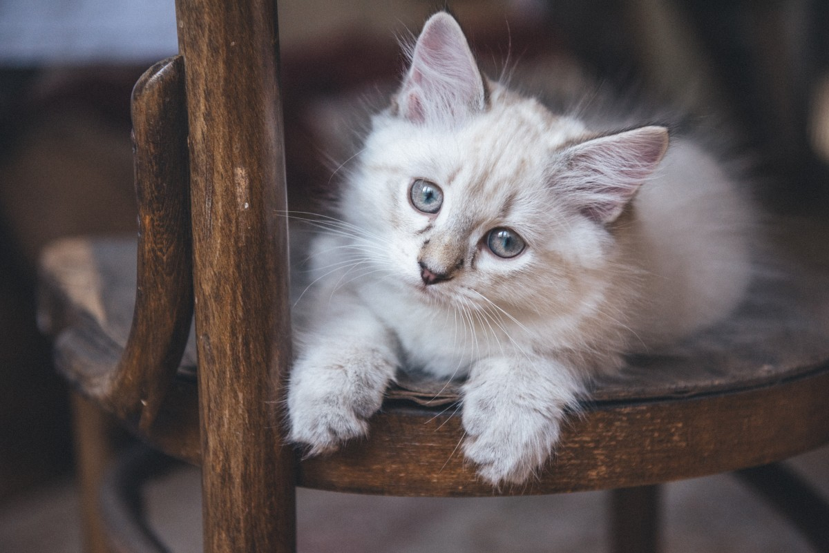 Blood groups in cats: Cream tabby cat with blue eyes on a wooden chair