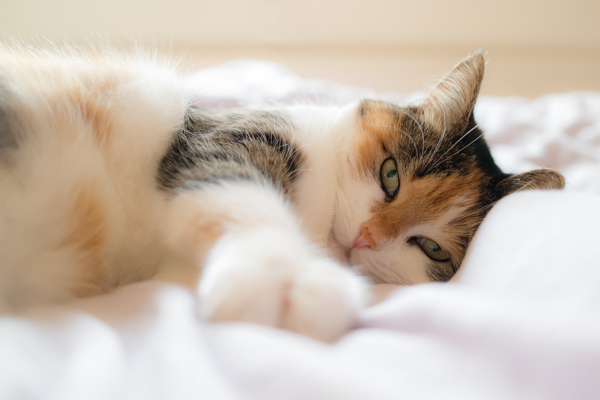 Cat coat genetics: A tricolor calico cat