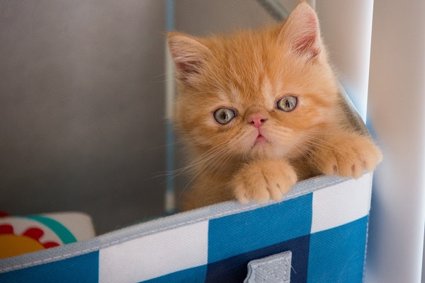 Orange tabby Persian kitten with blue eyes