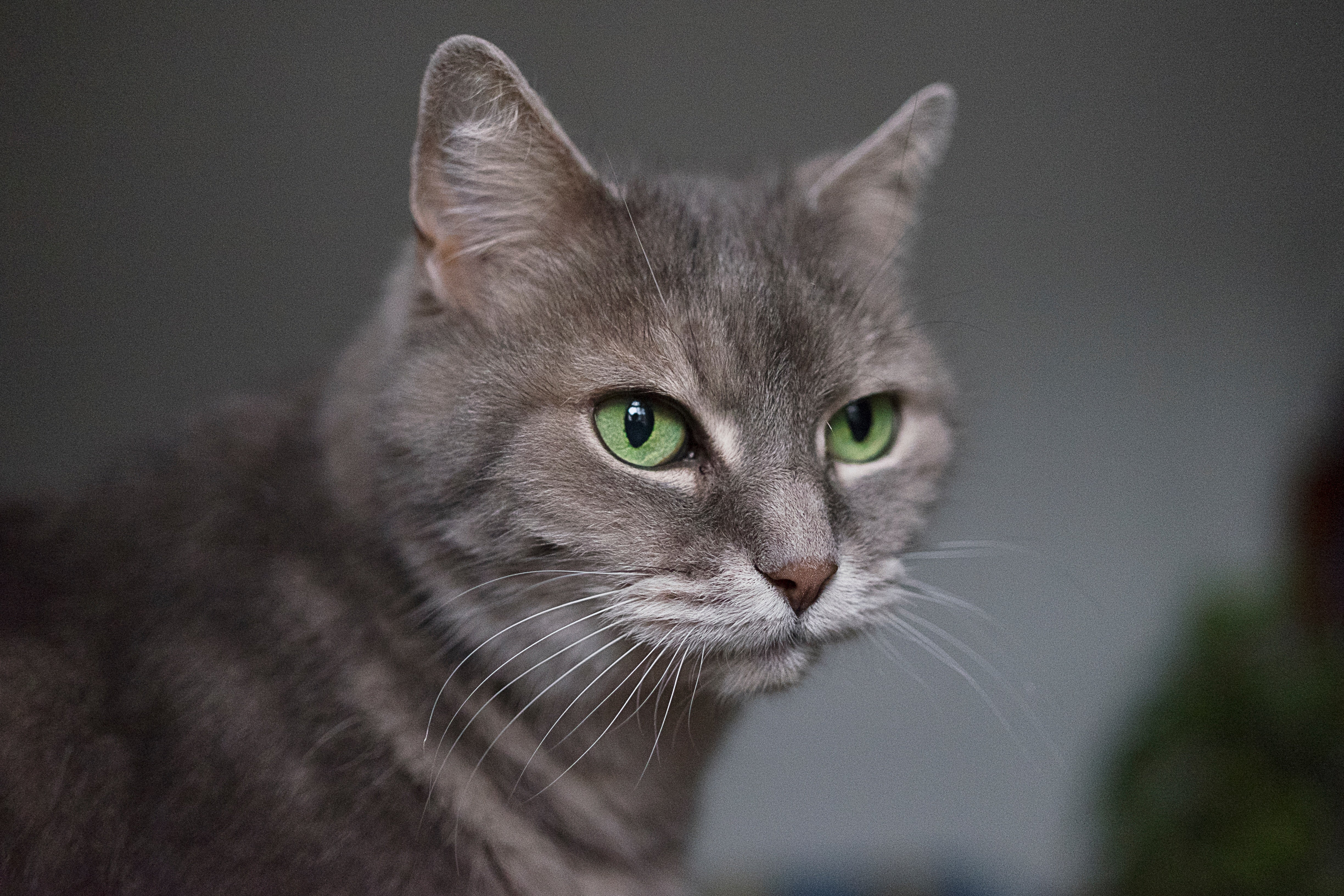 Gray cat with green eyes in article about cat headaches
