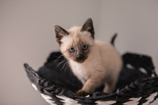 Young Siamese kitten in a basket