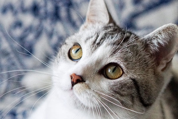Gray and white tabby cat with yellow eyes