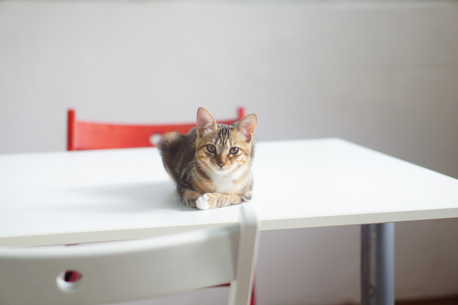 cute tabby cat laying on a white table with white and red chairs