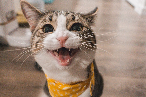 A tabby and white cat with yellow collar meowing