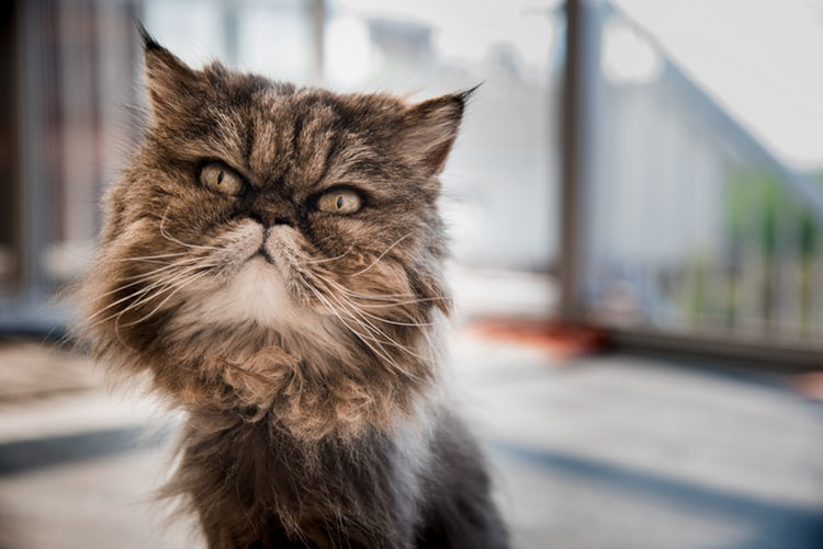 Brachycephaly in cats