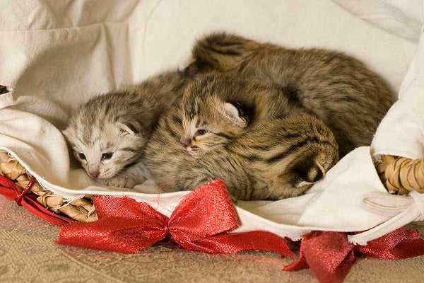 A group of young Savannah kittens