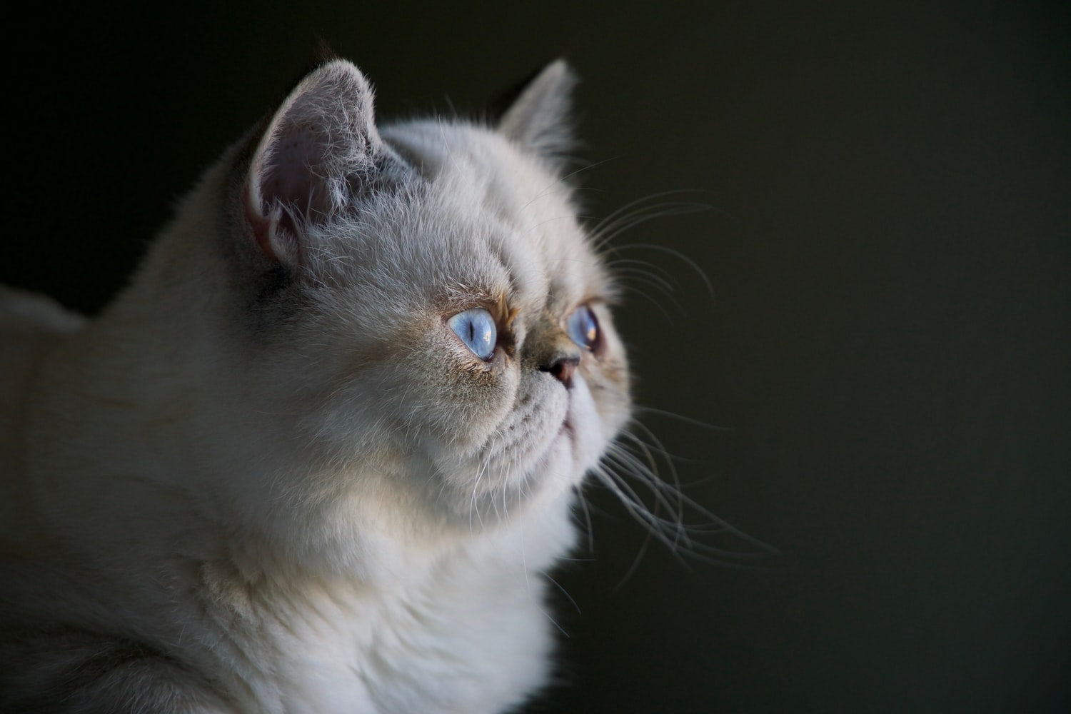 White overweight Persian cat with blue eyes