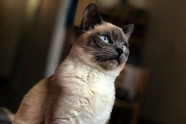 Siamese cat with blue eyes looking out