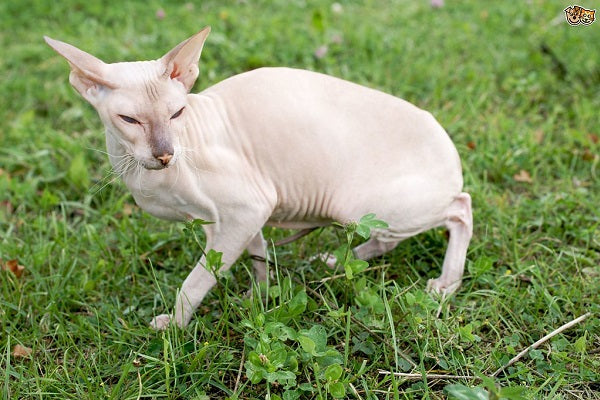 Peterbald bald cat in grass with pink skin