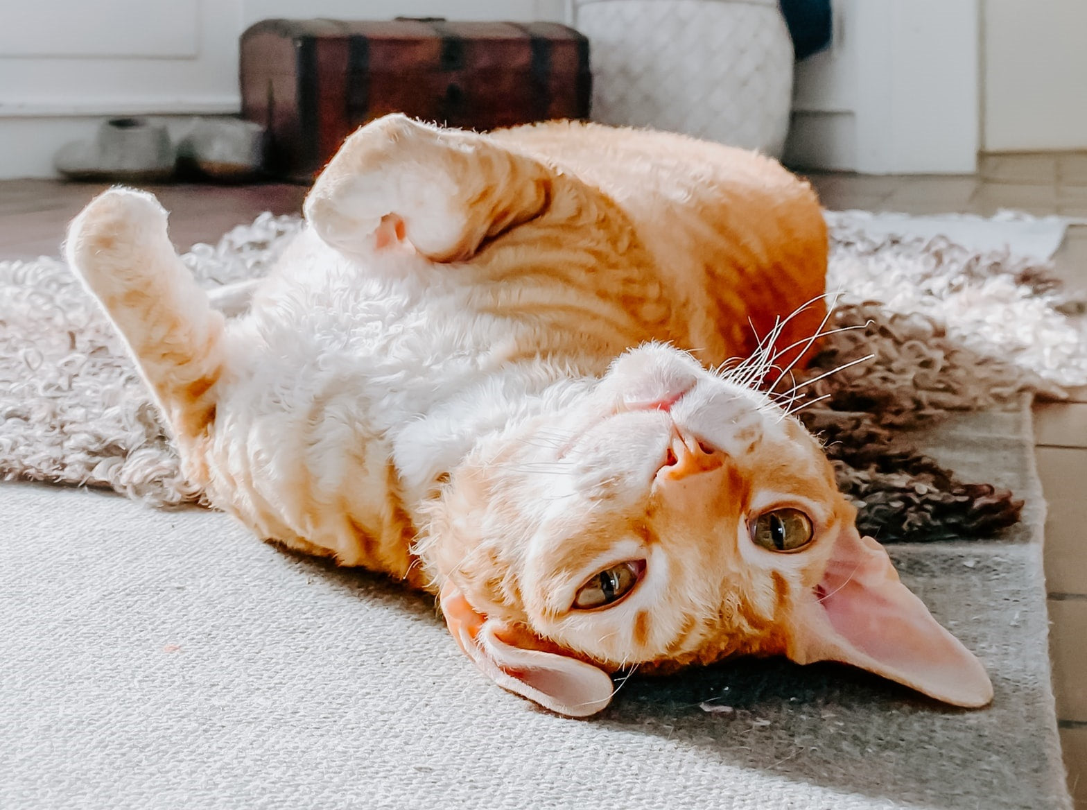 orange tabby white spotted cat laying on the back on a carpet