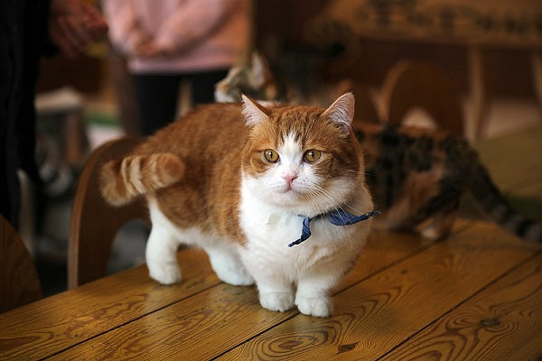 Orange tabby and white munchkin cat