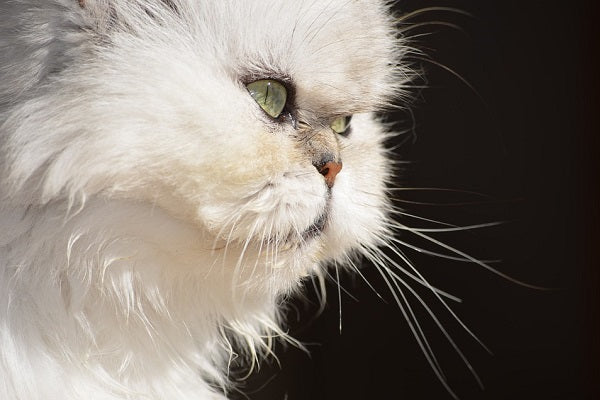 White Persian cat from the profile
