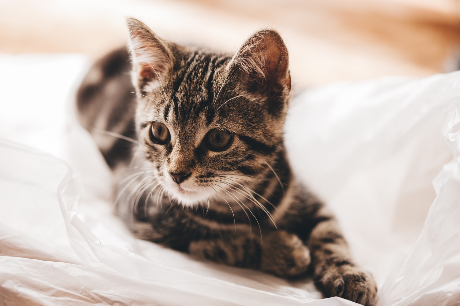 Young tabby cat laying on a white blanket