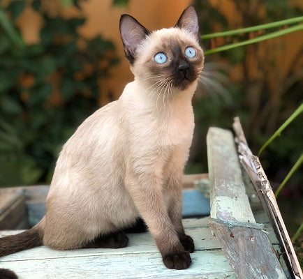 Siamese cat with bright blue eyes sitting outside and looking into space