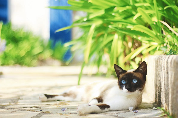White and dark brown cat with blue eyes laying on a sidewalk