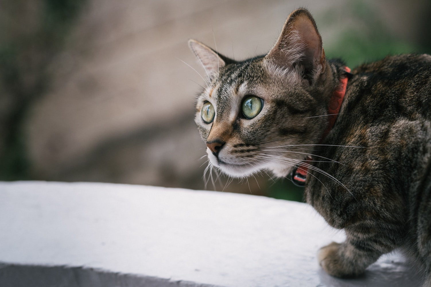 Gray tabby cat with green eyes and red collar