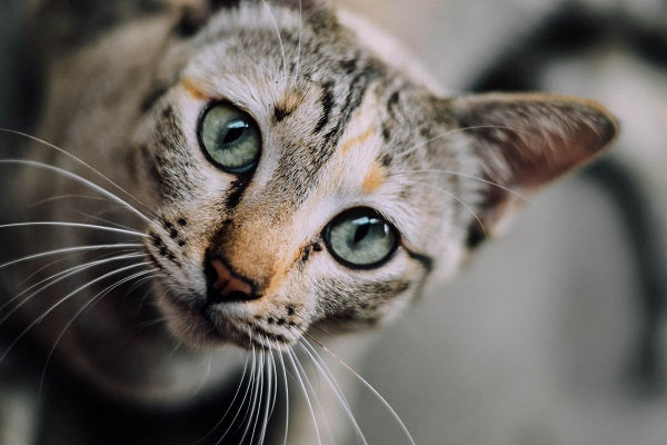 Tabby cat with light green eyes