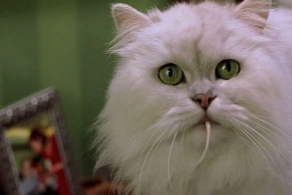 Snowbell white Persian cat holding a mouse in the mouth