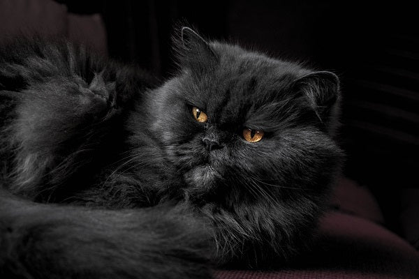 Dark gray Persian cat with yellow eyes