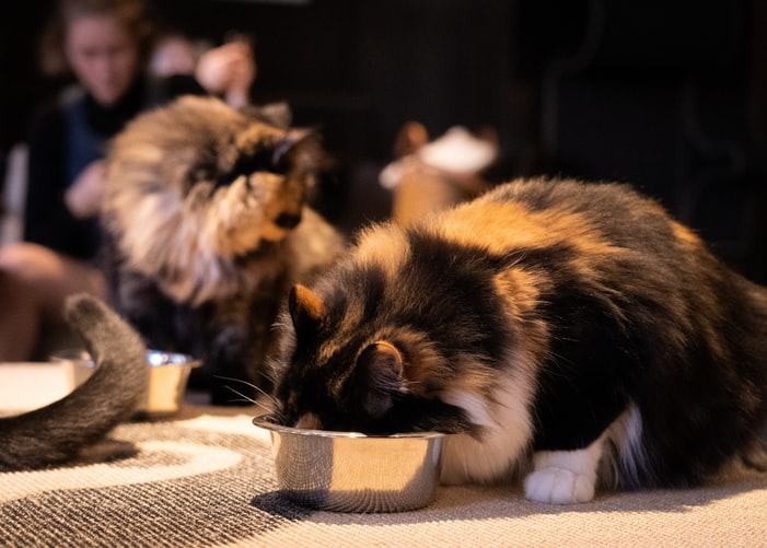 cute calico cat eating: allergic cats may have allergies to certain foods