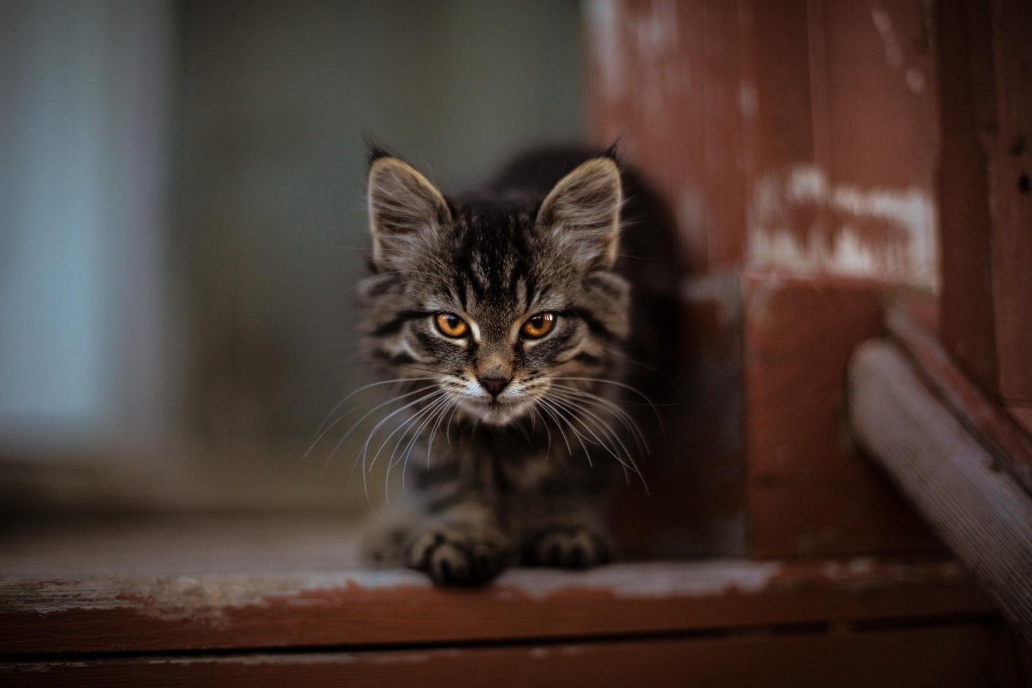 cute tabby long-haired cat with yellow eyes