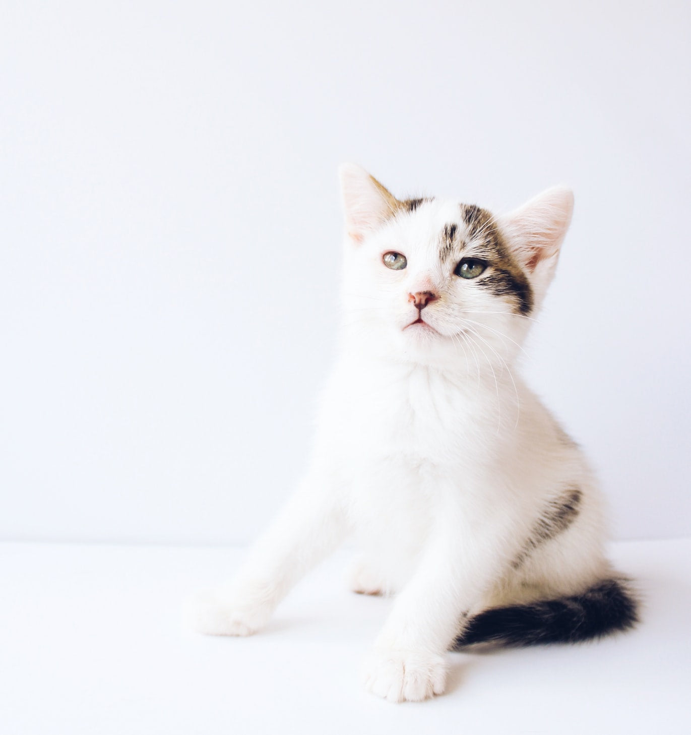 white and tabby young kitten with weight background