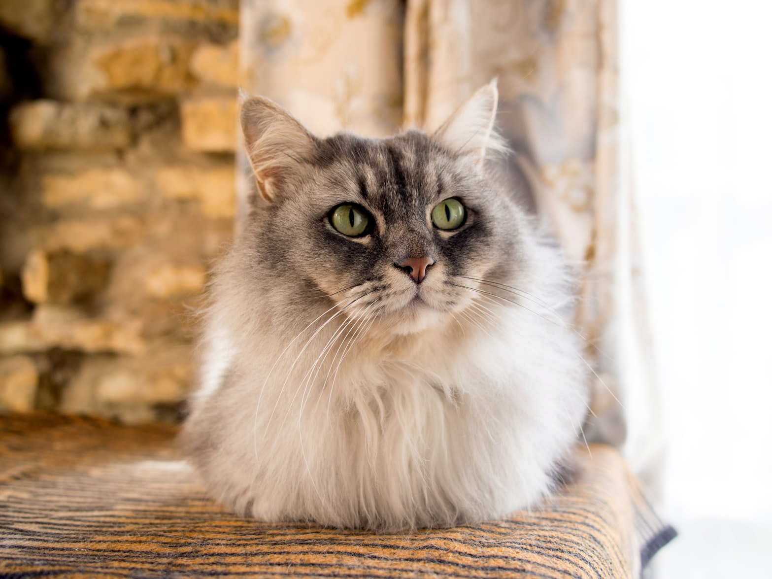 beautiful long-haired beige cat with green eyes