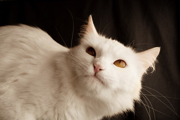 a white turkish angora cat with yellow eyes laying down