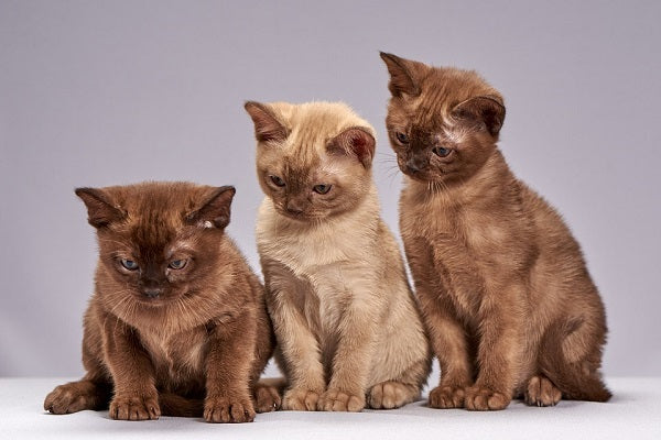 Three Burmese Kittens Sitting