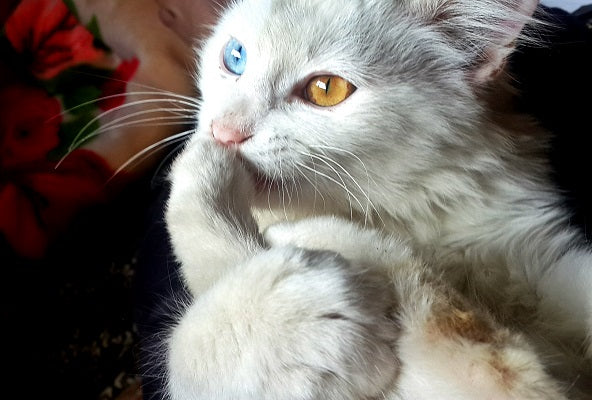 a white and beige cat with heterochromia