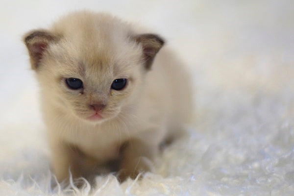 A cute young cream colored Birman kitten sitting on a fluffy white carpet or blanket