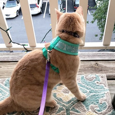 buff tabby cat named charlotte on a leash in a harness
