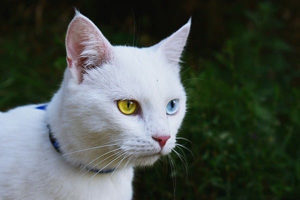 White cat with one yellow and one blue eye