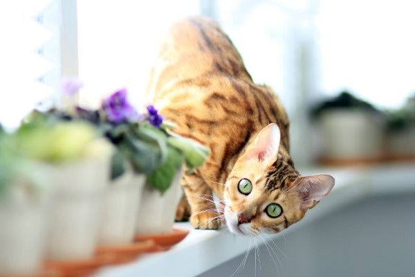 bengal cat with bright green eyes looking from the window