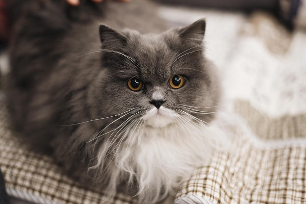 gray and white long haired cat with brown eyes laying on a blanket