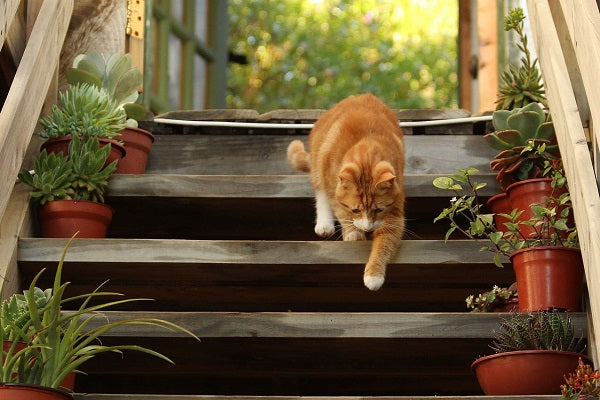 a tabby orange cat with white gloves going down the stairs