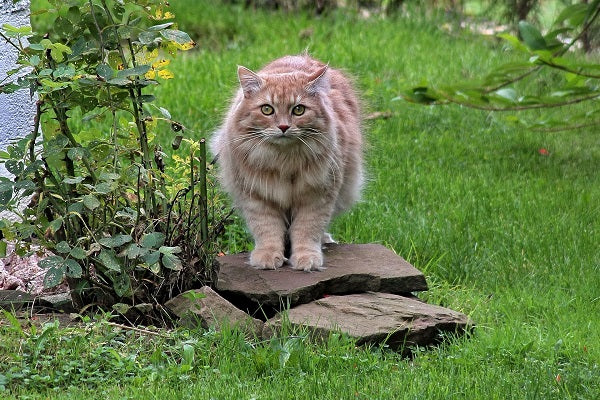 Siberian forest cat orange tabby long haired standing on a stone in the garden