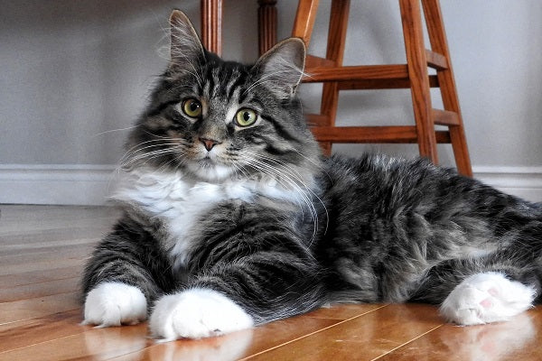 A fluffy gray tabby cat with white gloves