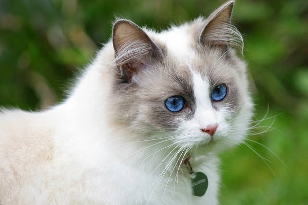 Beautiful Ragdoll colorpointed cat with blue eyes