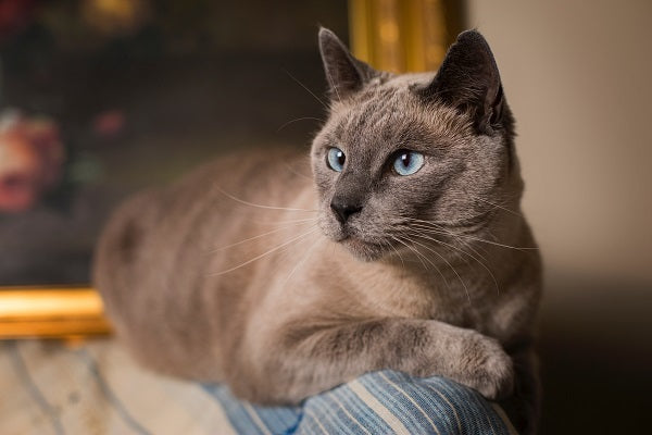 beautiful siamese cat with blue eyes