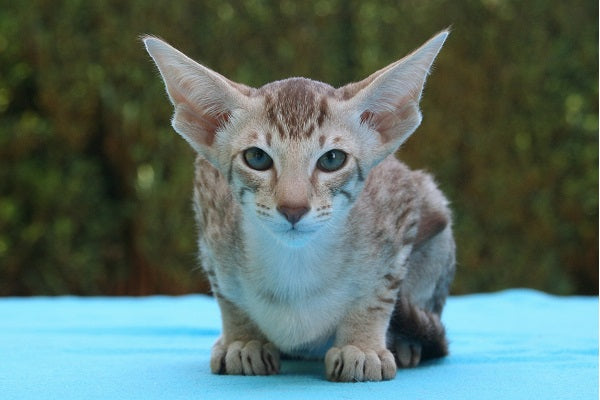 tabby oriental shorthair cat with white belly sitting a blue blanket