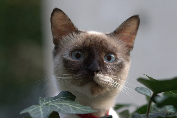 Burmese Cat Breed Blue Eyes