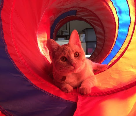 buff tabby cat named charlotte playing in the cat tunnel