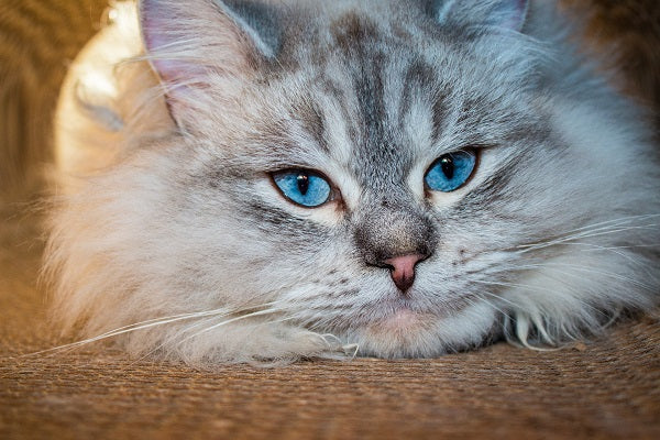 Siberian forest cat beige and gray tabby with blue eyes
