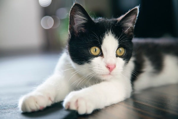 bicolor black and white cat with yellow eyes
