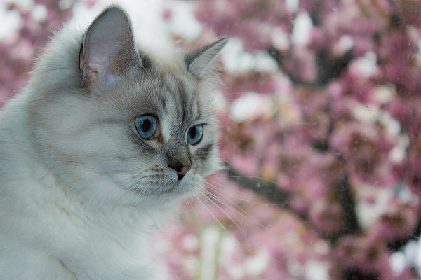 Siberian forest cat white pointed with blue eyes