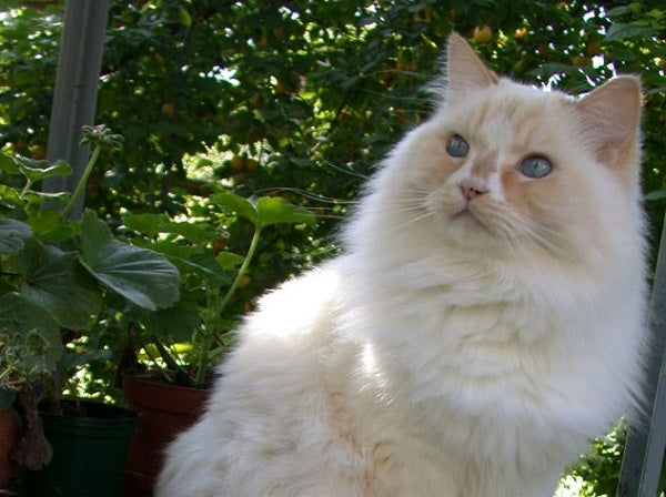A cream colored Ragamuffin cat with blue eyes sitting outside and looking to the side