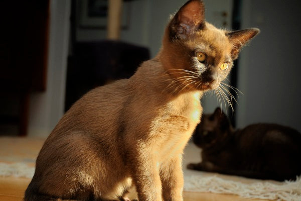 Burmese Cat Breed