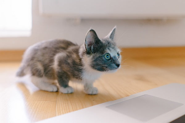 young gray and white kitten looking at the laptop